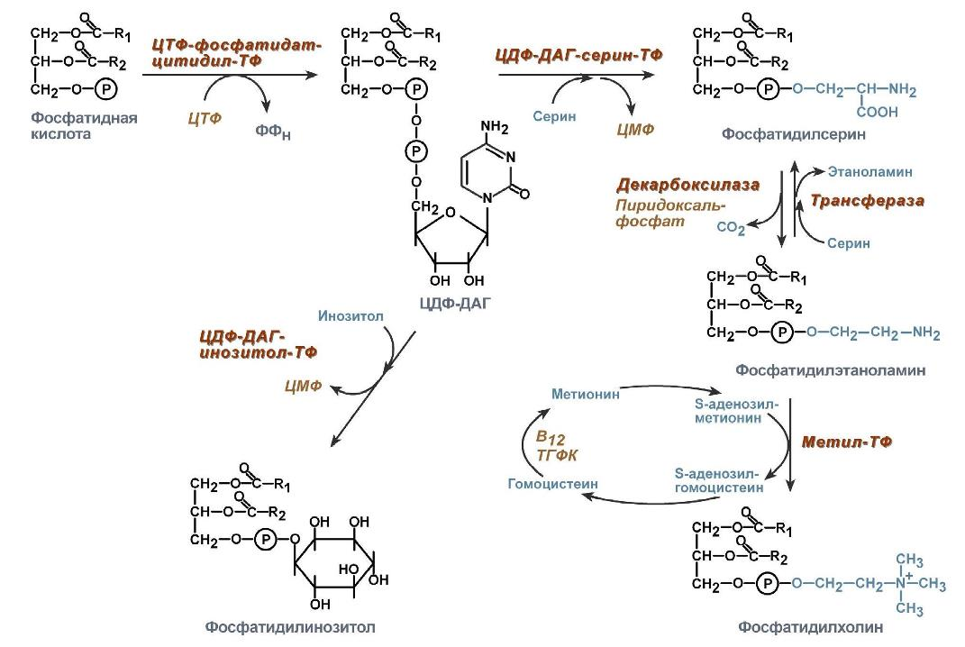 Витамин в12 (кобаламины, цианокобаламин). описание, источники и функции витамина b12