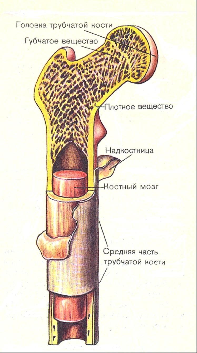 Красный костный мозг человека | анатомия красного костного мозга, строение, функции, картинки на eurolab