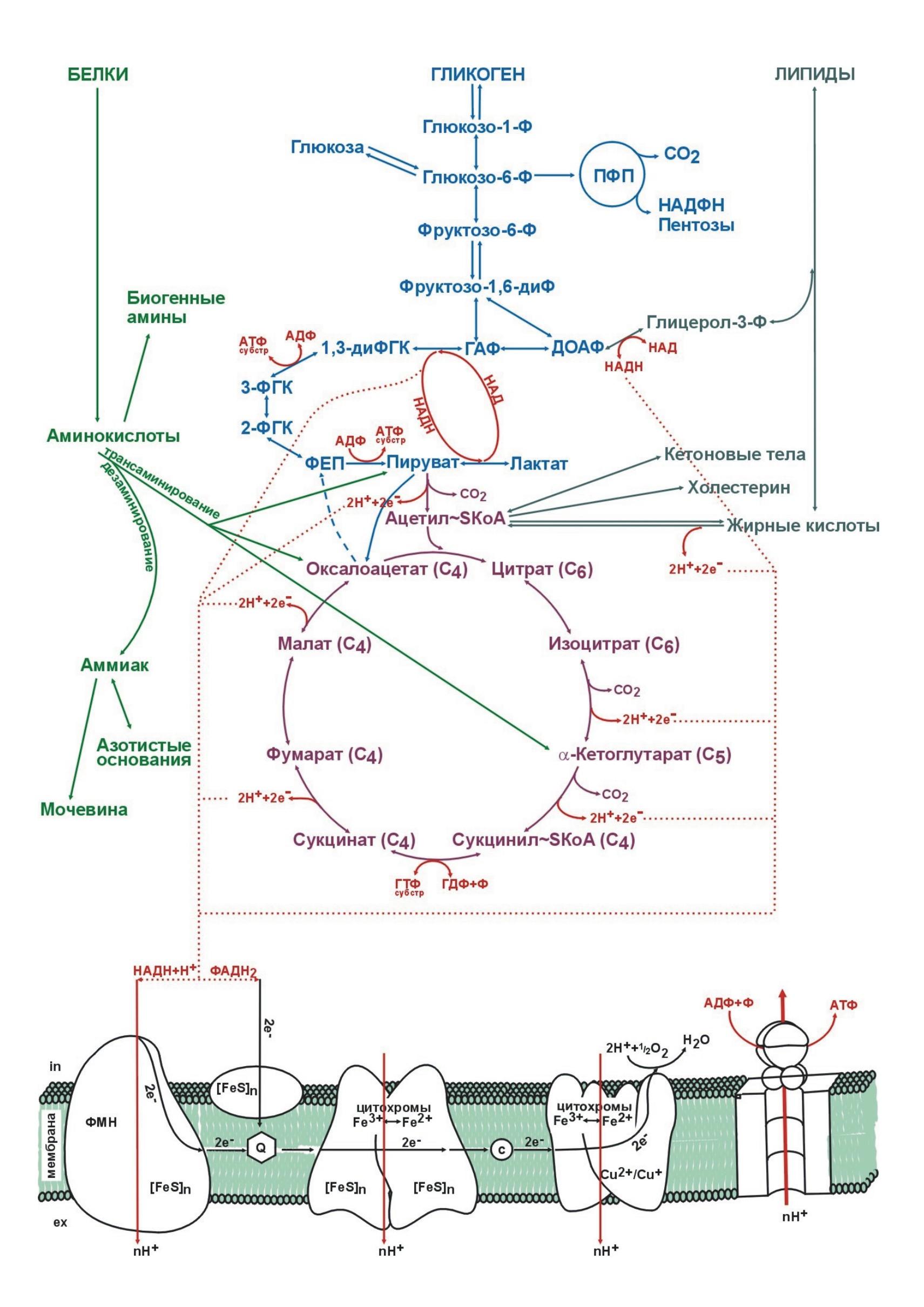Азотемия – причины, симптомы, лечение, виды, диагностика