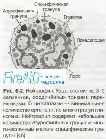 Нейтрофилы википедия