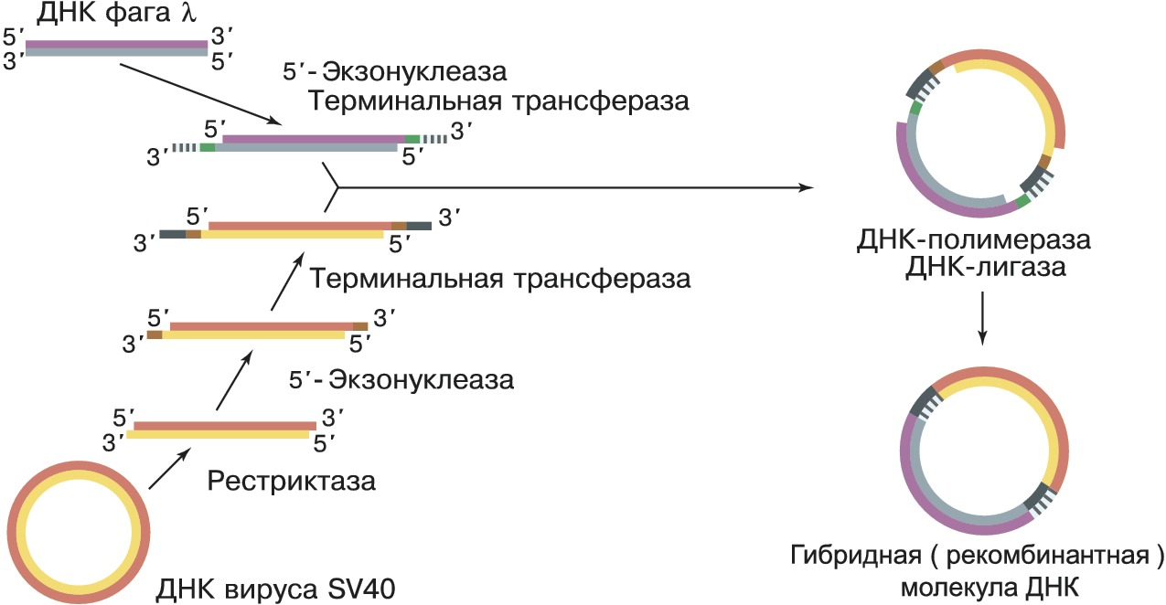 Инженерия человеческой зародышевой - human germline engineering