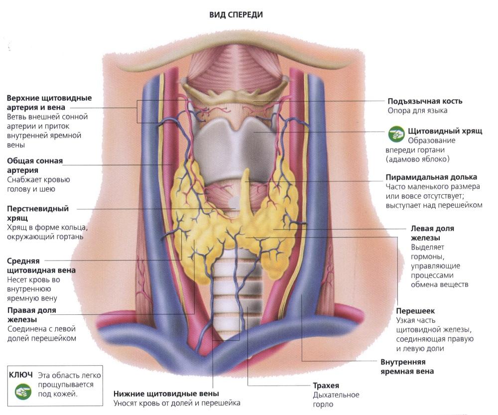 Тиреоидиты: причины, симптомы и лечение