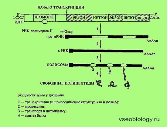 Регуляция экспрессии генов