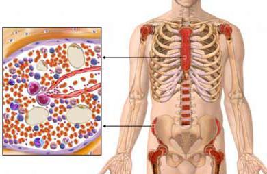 Схема кроветворения. органы кроветворения