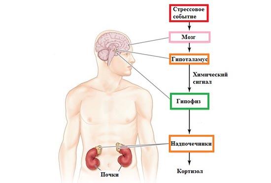 17-он-прогестерон (17-гидроксипрогестерон): что это такое, норма у женщин и мужчин по возрасту, причины отклонений от нормы, расшифровка результатов анализов на 17-опк
