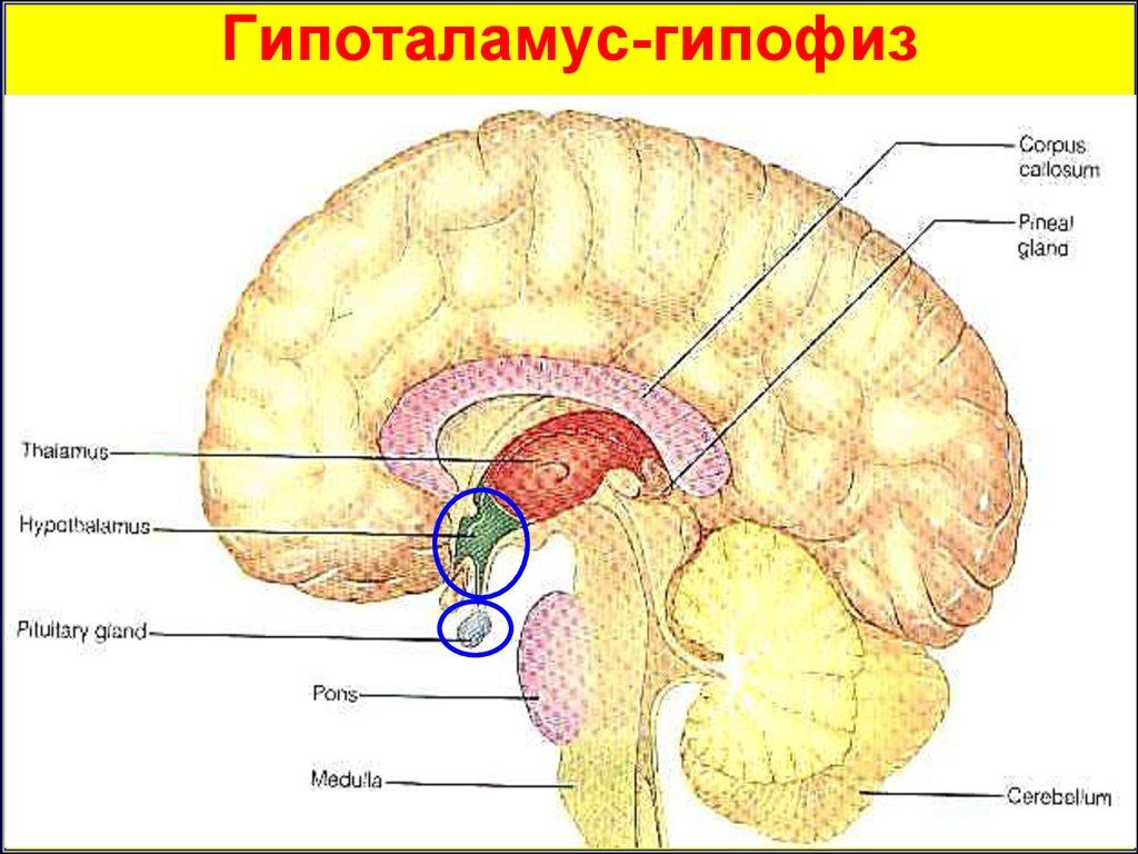 Патофизиология гипофиза