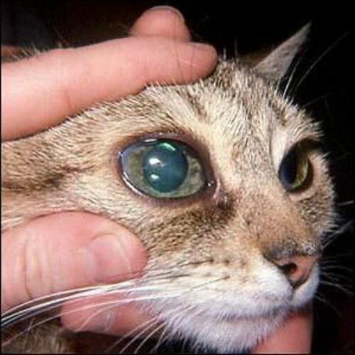 Глаукома у кошек причины симптомы лечение