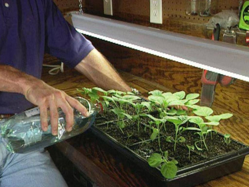 Хлорелла полезные свойства и противопоказания к применению растения
