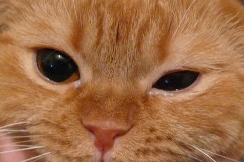 Глаукома у кошек: причины и прогноз по болезни