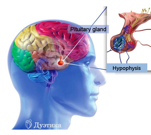 Что означает в диагнозе неоднородная структура гипофиза